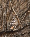 red tailed hawk colorado springs